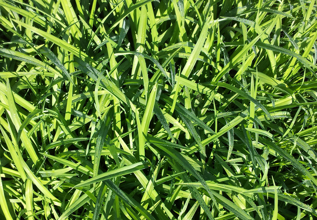 Grass with dew - Vermont, May 25, 2014