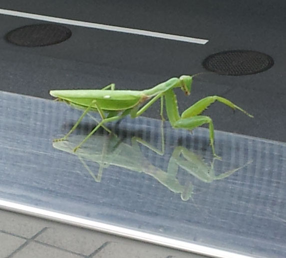 Praying mantis on a mirrored handrail - Sept. 26, 2014
