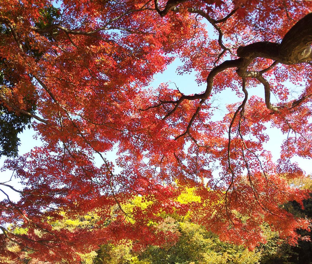 Autumn leaves in Kinuta Park - Nov. 23, 2013