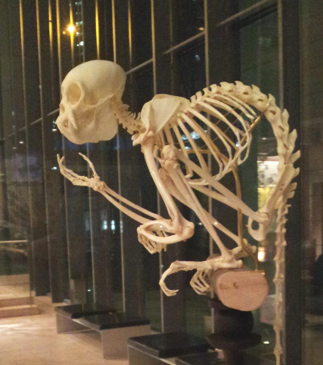 Monkey skeleton at the Akasaka Intercity Bldg. - Nov. 19, 2014