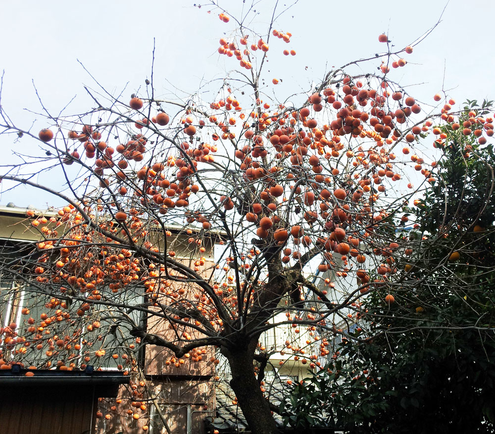 Persimmon tree - Futako Tamagawa, Jan. 4, 2014